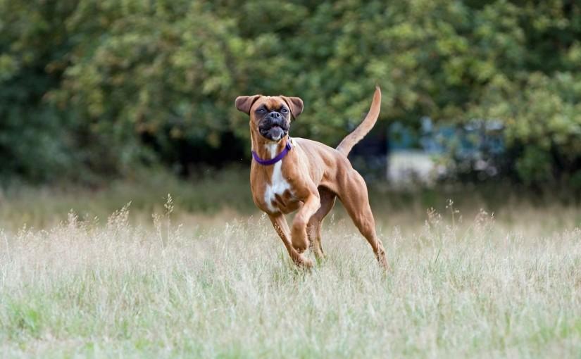 boxer-hund